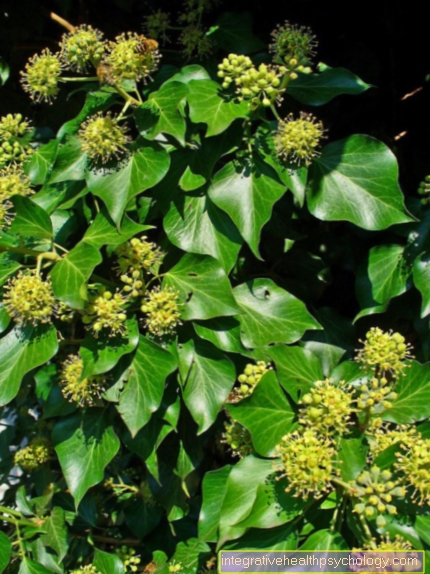Ivy or hedera helix