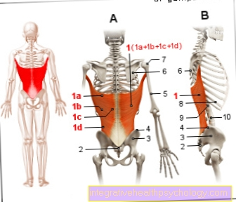 Figure muscle - broad back muscle